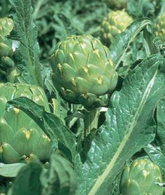 Artichoke, Imperial Star Hybrid from Burpee. Grow your own artichokes and enjoy the sweet, mild tasting large edible flower buds at their prime.