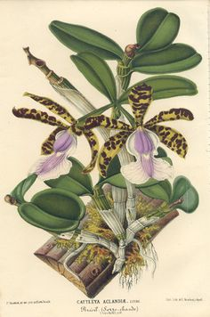 Orchid Cattleya edited by by Charles Lemaire, 1868