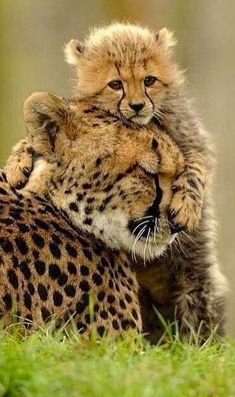 Big Cat Species, Baby Cheetahs, Photomontage, Big Cats, My Images, Lion, Cute Animals, Explore, Nature