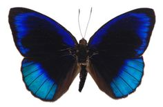 Eunica eurota- a preserved butterfly. Not the most practical decoration, and creepy to some.