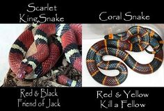 King snake red y black friend of jack (extremely beneficial)  Coral snake red y yellow kill a fellow... Only one species of coral snake is native to Texas. The coral snake is shy and rarely seen. It has, in order, red, yellow and black colors. The coral snake has a small mouth, and is usually not aggressive. Its bites are dangerous, but very rare. (Also on TPWD website)