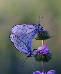 Mariposas Butterfly Flutter by Papillon Butterfly, Butterfly Kisses, Purple Butterfly, Butterfly Flowers, Purple Flowers, Pretty Flowers, Pastel Purple, Flowers Garden, Butterfly Wings