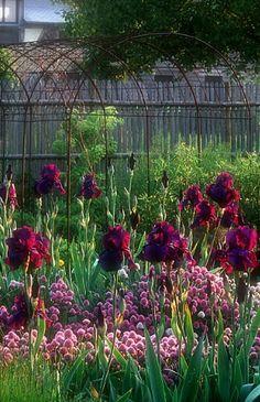 Companion Planting good idea. Bearded Iris love..