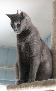 Russian Blue Kitten, Blue Cats, Friends, Summer, Baby, Animals, Blue Russian Cat, Blue Nails, Gatos