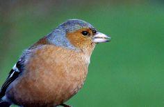 Chaffinch   Endless Wildlife