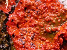 Umbilicaria rubiginosa