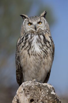 Eurasian Eagle Owl (Bubo bubo) photographed by Carlos Delgado