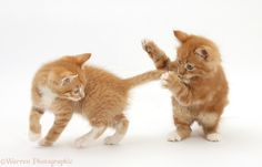 cats playing | WP31031 Ginger kittens, Tom and Butch , 7 weeks old, play-fighting.