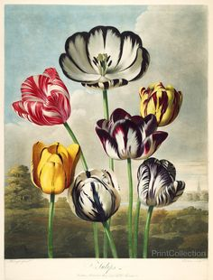 Tulips from the The Temple of Flora