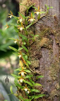 wild epidendrum orchid rooted in bark - Google Search