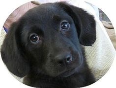 Meet+Tammi+~+Puppy,+a+Petfinder+adoptable+Labrador+Retriever+Dog+|+St.+Petersburg,+FL+|+Tammi+~+Puppy!'s+Info...I+am+up+to+date+with+shots,+good+with+kids,+good+with+dogs,+and+good+with...