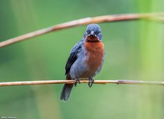 Male Chestnut-bellied Seedeater - Sporophila castaneiventris. Photo by Nick Athanas.
