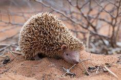 Lesser Hedgehog Tenrec (Echinops telfari) photographed by Chien C Lee in SW Madagascar