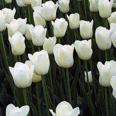25 x triumph white in de witte mix in de voortuin op de dijk kerstvak 12