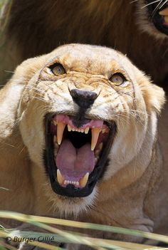 Angry White Lioness growling, baring her fangs ; Close-up Portrait by ; Animals Of The World, Animals And Pets, Cute Animals, Lion Pictures, Animal Pictures, Grand Chat, Lion And Lioness, Beautiful Lion, Bad Cats