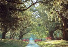 an passeway of 300 year old oaks at Brookgreen Gardens in SC...the sculpture there is lovely and the gardens lush....visit if you are near there...well worth the trip!