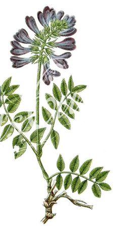 Hedysarium_hedisaroides_      ...