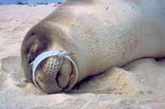 Plastic Pollution in the Ocean: The Real Story from Dr. Marcus Eriksen Poor Seal - this is soooo sad! Ocean Pollution, Plastic Pollution, Environmental Pollution, Environmental Issues, Save Our Earth, Save The Planet, Marine Debris, Save Nature, Save Our Oceans