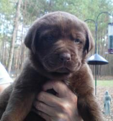 Beamer is an adoptable Labrador Retriever Dog in Greensboro, GA. Meet Beamer, a male lab mix puppy. We believe they were born the end of 2011. Their momma appears to be a purebred chocolate lab, and t...