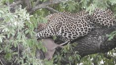 Patience and a lot of it needed at some Leopard sightings. Patience, Cats, Gatos, Kitty Cats, Cat Breeds, Kitty, Cat, Kittens