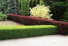 Gładko strzyżone roślinne ściany chronią dostępu na posesję, osłaniają  przed wiatrem i przeciągami; odpowiednio zaprojektowane dzielą  przestrzeń na przytulne zakątki