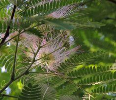 Albizia julibrissin (Acacia de Constantinopla, Arbol de la seda, Parasol de la China). http://www.elhogarnatural.com/Arboles.htm