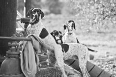 Gsp Rescue, Siblings, The Fosters, California