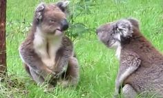 Koalas Are Really Upset. The Result is the Cutest Fight Ever (Video)