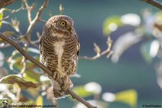 @Regrann from @sunilk0607 -  Asian Barred Owlet (Glaucidium cuculoides)  Makkumath - Uttarakhand December 17 2016 @wildindiain #wildindiaecotours #wildindia #birdwatching #birds #photography #birdphotography #india