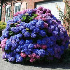 Cumpară de Hortensia macrophylla Bouquet Rose 2577 - online în România de la magazinul GrădinaMax. De numerar la livrare prin posta.