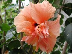 Hibiszkusz Garden Trees, Trees To Plant, Plants, Gardening, Beautiful Roses, Tree Planting, Lawn And Garden, Plant, Planets