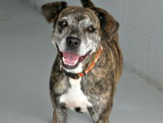 02/20/16--This very social and non-aggressive girl was found in Houston and brought to a local town where she received professional obedience training. Grace can be shy at first meeting, but doesn't take long to warm up. Grace would do best as an only pet in...