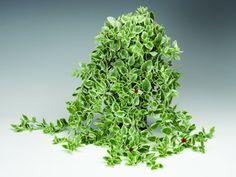 Zahradnictví Bašť, Líbeznice, zahradnictví, zahradnické služby - Naše nabídka Lanai, Herbs, Herb, Medicinal Plants