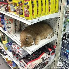 ...just point me to the nearest empty shelf... From Catloversclub ( IG )