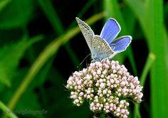 Het Icarusblauwtje vind je vanaf nu in de#staatbosbeheer #deweerribben #bezoekerscentrumstaatsbosdeweerribben #klein #fijn #natuur #nature #holland #netherland #zomer #buienradar