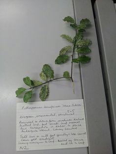 Pittosporum tenuifolium 'Irene Paterson'