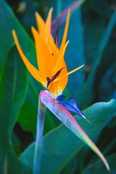 Bird of Paradise by Nicholas Pitt on 500px