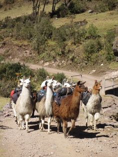 "Llamas in Peru repinned by Libby VanBuskirk on ""Everything Inca, Images of Peru."" Another of the stories in my upcoming book is called ""The Old Man, the Llamas and Machu Picchu"" about an old man's quest and his beloved llamas. Book will be released in Noveber ""Beyond the Stones of Machu Picchu: Folk Tales and Stories of Inca Life."""