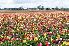 Tulip Festival - Wikipedia, the free encyclopedia
