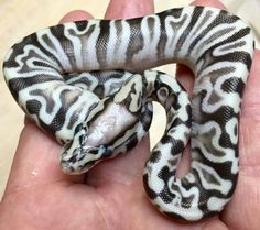 Inferno GHI Ball Python - I LOVE the GHI gene!  The color and pattern t can produce when paired with other morphs is limitless!
