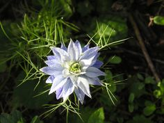 Love in a mist. Order Life Is a Garden Party via WestBow Press. Read samples at http://lifeisagardenparty.blogspot.com Follow Life Is a Garden Party on facebook.