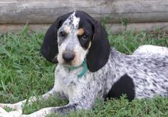 blue tick hound photo | About Dogs Photo Galleries - Bluetick Coonhound Gallery
