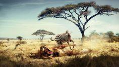 Zebra VS. Lion #AFRICA