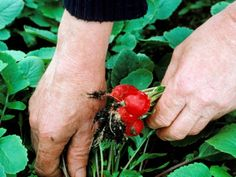 Radishes go great in salads and soups and grow best in sunny spots --> http://hg.tv/pyow