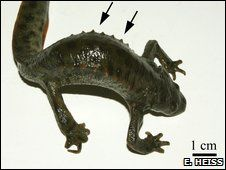 Spanish ribbed newt uses its ribs as weapons by poking thrm through its own skin - freaky!!   More info at http://news.nationalgeographic.com/news/2009/08/090828-spanish-newt-ribs-spines-wolverine.html
