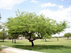 Chilean Mesquite, Prosopis chilensis. Also Called: Algarrobo, Ceratonia chilensis. Xeriscape Landscaping Plants For The Arizona Desert Environment. Pictures, Photos, Information, Descriptions, Images, & Reviews. Trees.