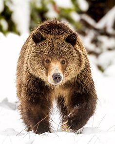 Grand Teton Grizzly by Troy  Harrison - Photo 149102927 / 500px