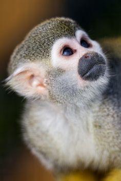 Squirrel monkey looking upwards II by Tambako the Jaguar, via Flickr