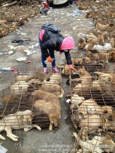 900 dogs were saved that day. Thank you to those who stopped them from killing them. ♡♡♡♡