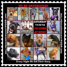 THE HOUSE OF HORROR NYC ACC HAS LISTED 15 WONDERFUL POOR INNOCENT DOGS TO BE MURDERED 11/05/16 - - Info Please Share: To rescue a Death Row Dog, Please read this:http://information.urgentpodr.org/adoption-info-and-list-of-rescues/ To view the full album, please click here: http://nycdogs.urgentpodr.org/tbd-dogs-page/ - Click for info & Current Status: http://nycdogs.urgentpodr.org/to-be-destroyed-4915/